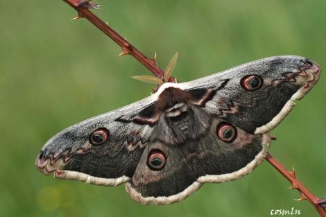 Great Emperor Moth